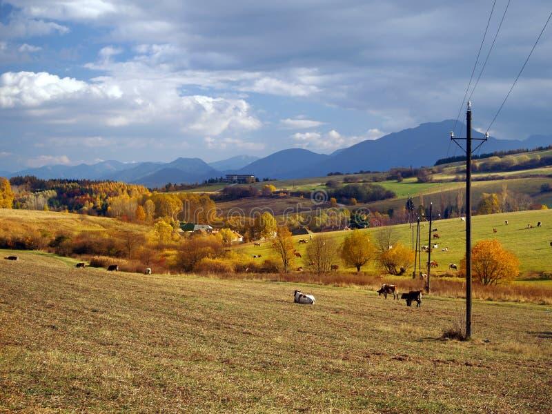 Vacas que pastan cerca de Bobrovnik, Eslovaquia fotos de archivo libres de regalías