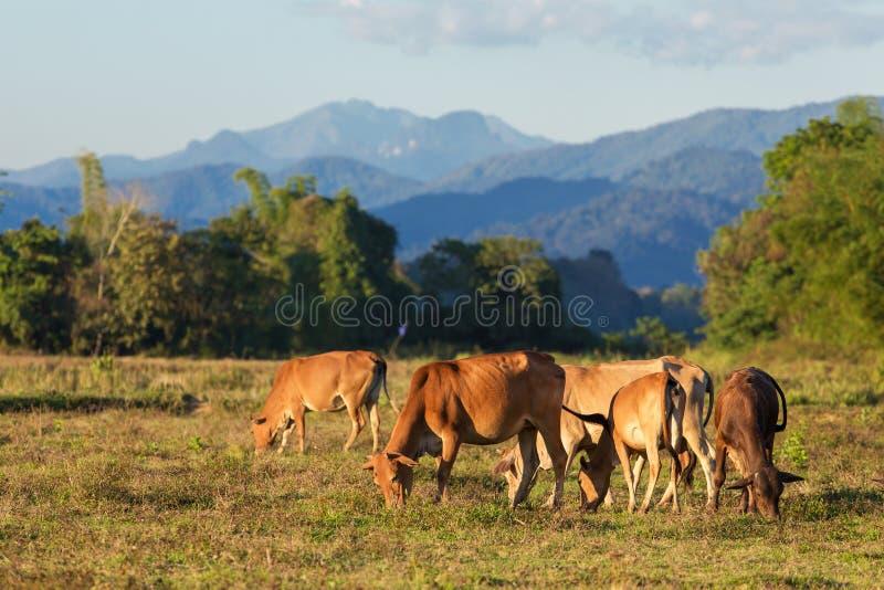 Vacas que pastan cerca del pueblo de Vang Vieng foto de archivo