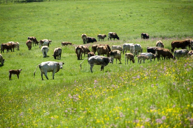 Vacas que pastan en campo imagen de archivo