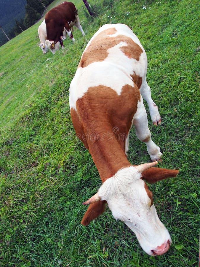 Vacas que pastan en campo foto de archivo libre de regalías