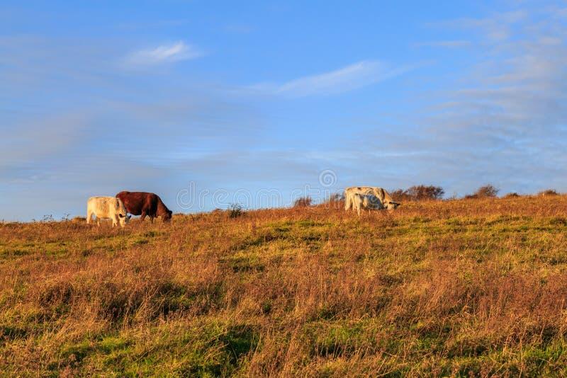 Vacas que pastan en el campo fotografía de archivo