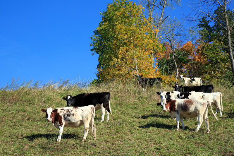Vacas que pastan en la ladera foto de archivo
