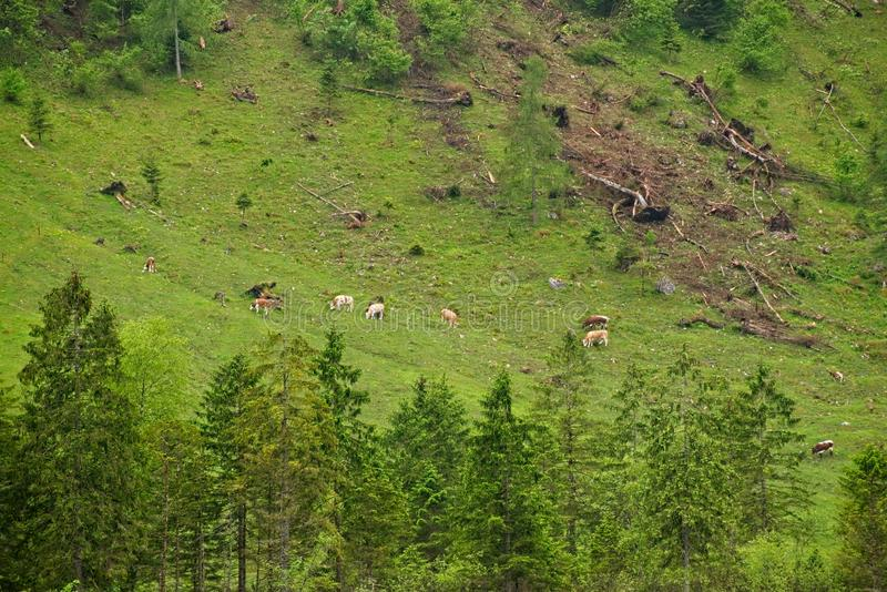 Vacas que pastan en la ladera fotos de archivo libres de regalías