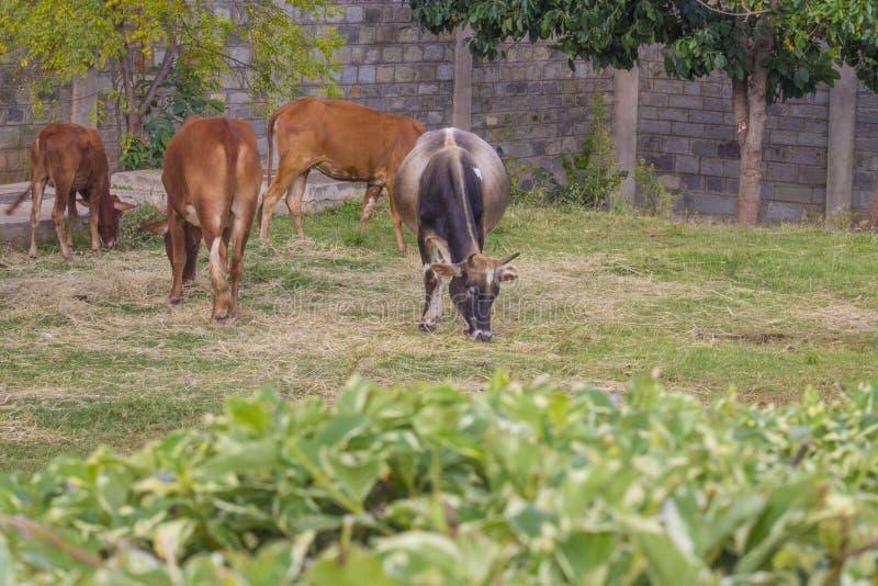 Vacas que pastan en los campos foto de archivo