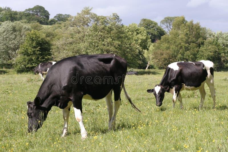Vacas que pastan en pastos frescos imagen de archivo
