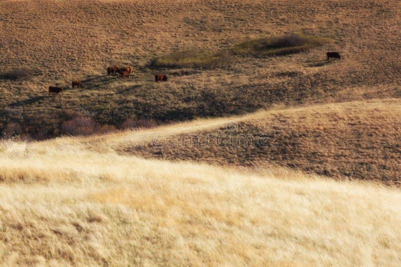 Vacas que pastan en pradera occidental imagen de archivo libre de regalías