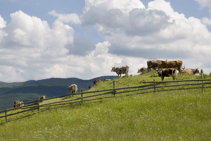 Vacas que pastan en un pasto imagenes de archivo