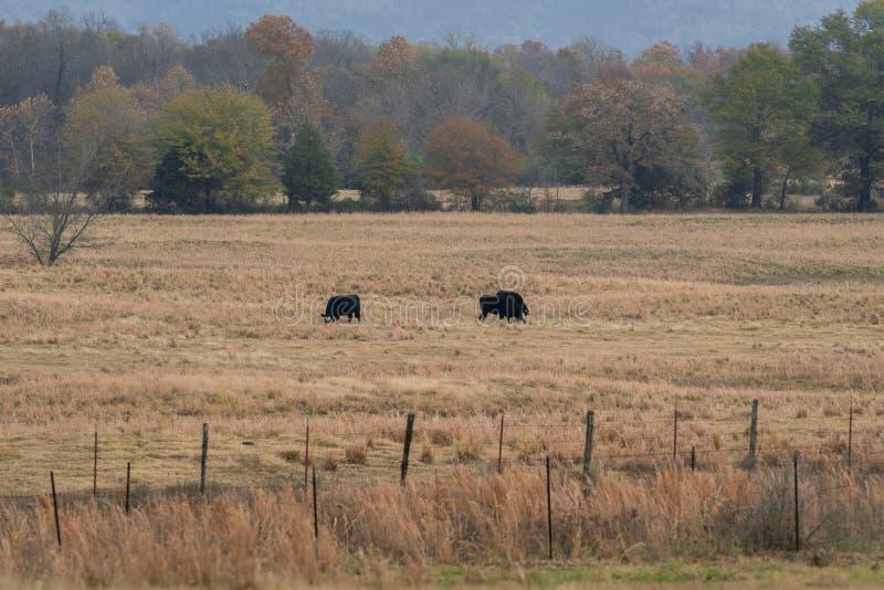 Vacas que pastan en un pasto del rancho fotos de archivo