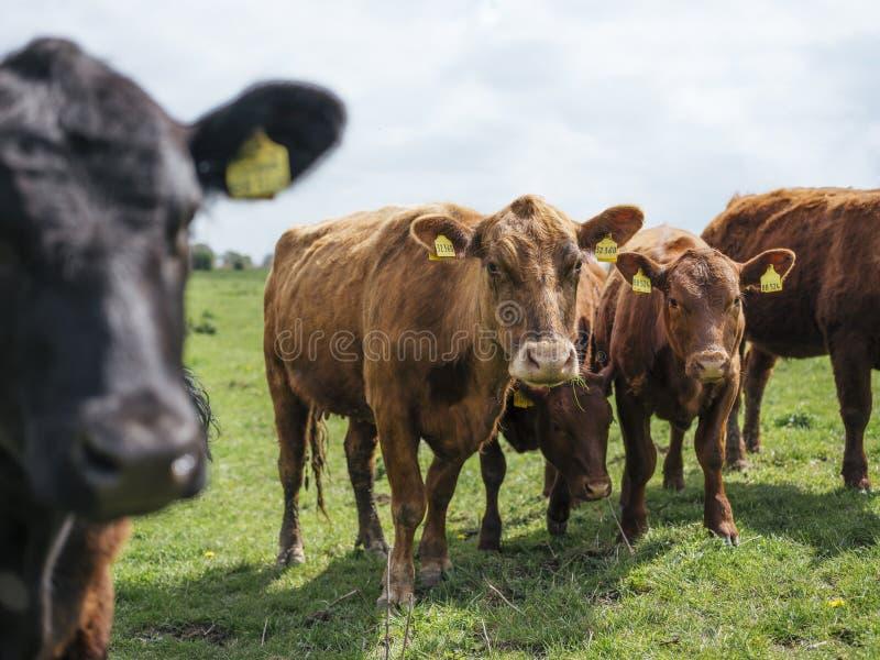 Vacas que pastan en una granja en Alemania septentrional imágenes de archivo libres de regalías
