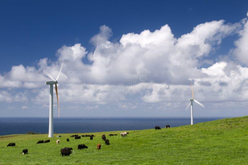 Vacas Que Pastan Entre Las Turbinas De Viento Imágenes de archivo libres de regalías