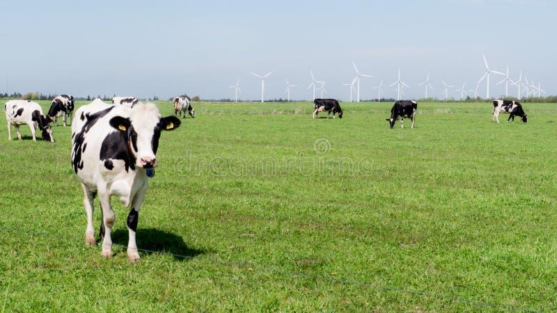 Vacas que se colocan en un campo verde con las turbinas de viento en fondo fotografía de archivo libre de regalías