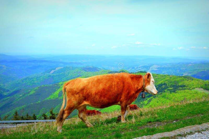 Vacas rojas en montaña foto de archivo