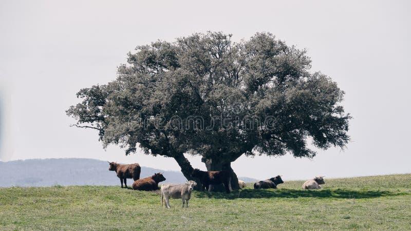 Vacas rumiando pastando 库存图片