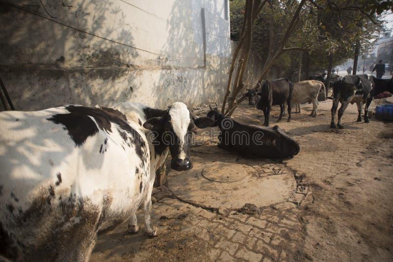 Vacas sagradas en las calles de Varanasi imagen de archivo libre de regalías