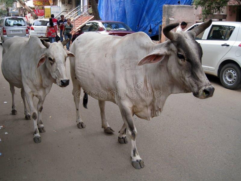 Vacas santamente fotografia de stock royalty free