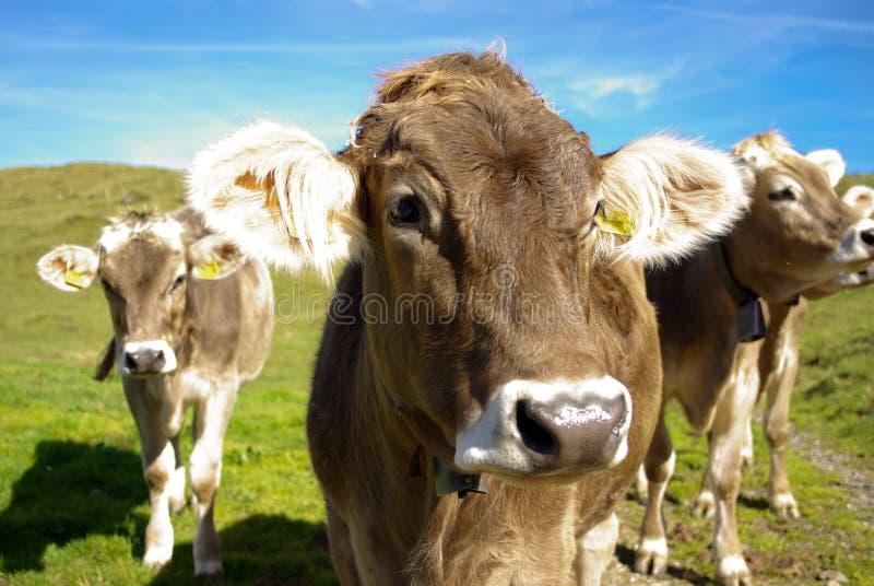 Vacas suizas con las alarmas fotografía de archivo