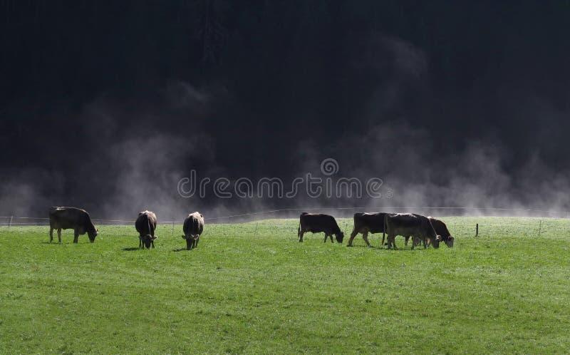 Vacas verdes bonitas do pasto e do rebanho da névoa branca e preto e montanha e luz do sol fotos de stock royalty free