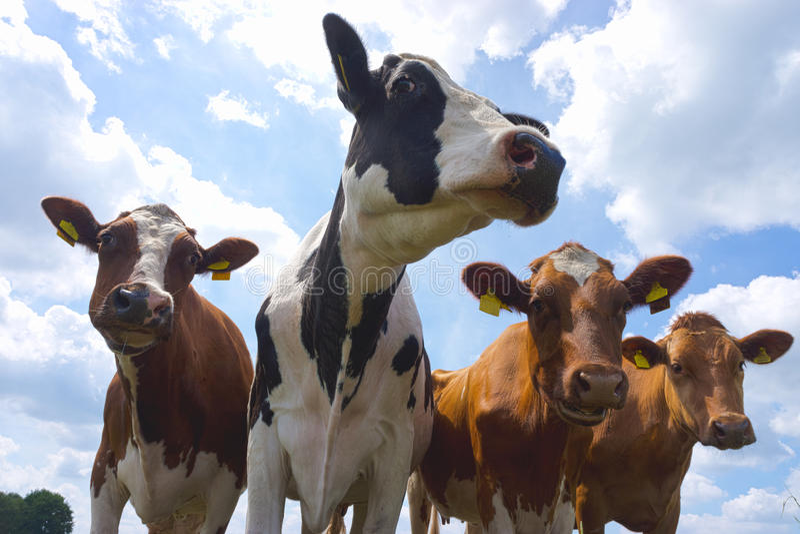 Vacas vermelhas e do animal malhado de leiteria imagens de stock