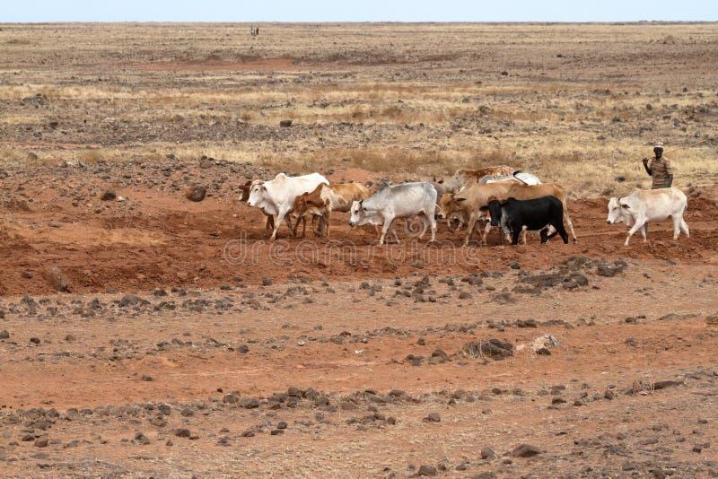 Vacas y ganaderos en el norte de Kenia fotos de archivo libres de regalías