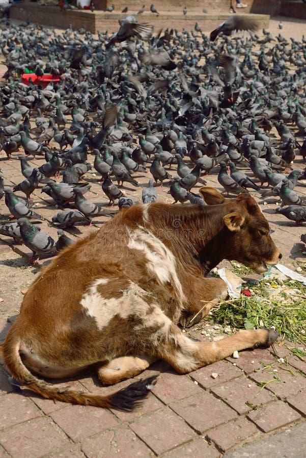 Vacas y palomas en el cuadrado de Durbar, Nepal imagen de archivo libre de regalías
