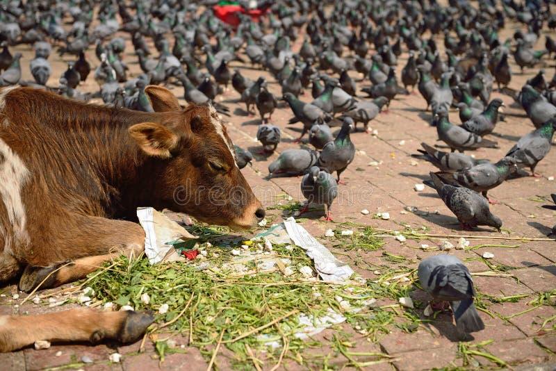 Vacas y palomas en el cuadrado de Durbar, Nepal fotos de archivo