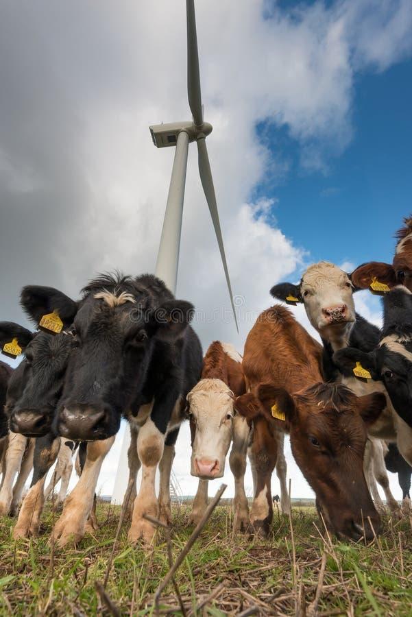 Vacas y turbinas de viento imagen de archivo libre de regalías