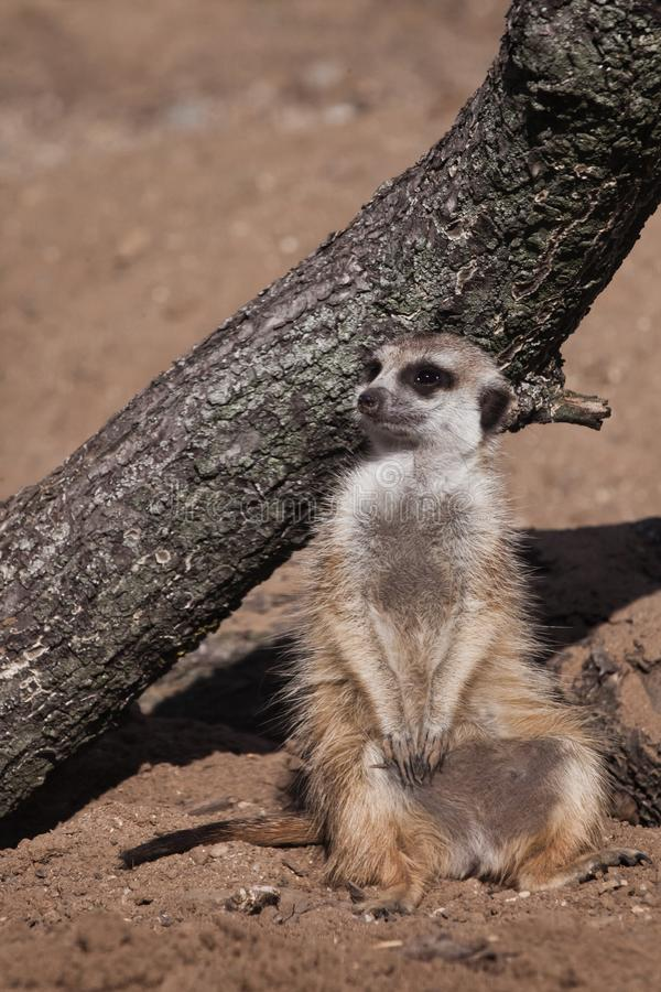 On vacation by the tree. A watchful  peppy meerkat Timon on a sandy desert background is watching closely. On vacation by the tree. A watchful and peppy meerkat royalty free stock photography