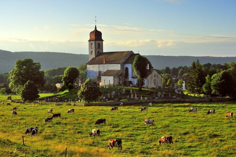 Vacche da latte, ville della La del Monnet, Jura, Francia immagine stock