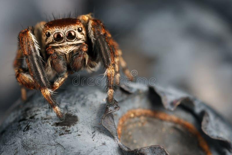 Vaccinium βακκίνιο και αράχνη άλματος στοκ φωτογραφία με δικαίωμα ελεύθερης χρήσης