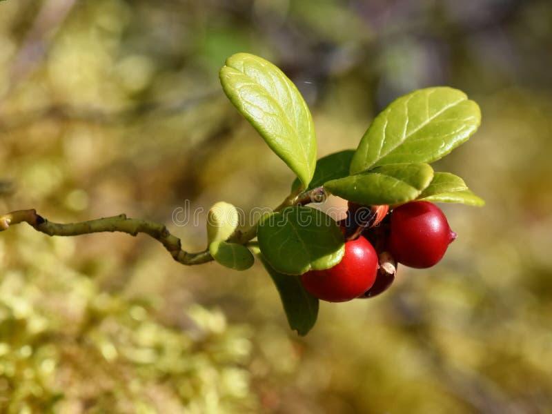 Vaccinium de Amerikaanse veenbessen van de vitis-idaeaberg in bos stock fotografie
