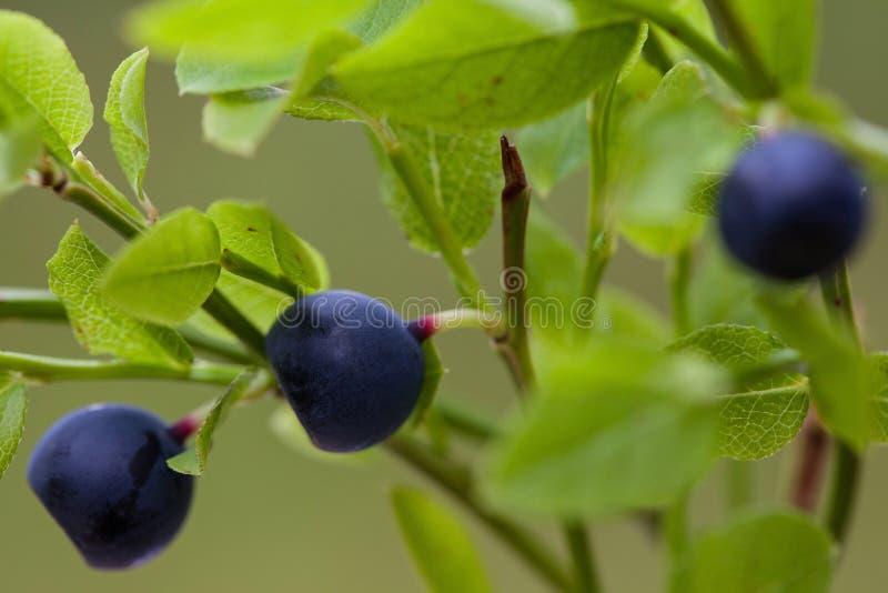 Vaccinium myrtillus (bosbes) stock foto