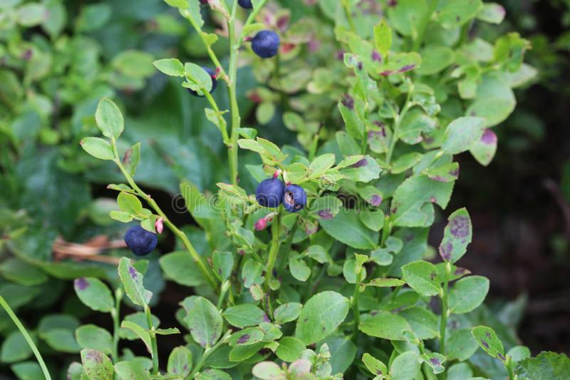 Vaccinium myrtillus shrub, common called commonly called common bilberry, wimberry, blue whortleberry, or European blueberry stock image
