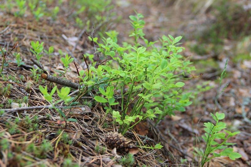 Vaccinium myrtillus is species van struik met eetbaar fruit van blauwe kleur, algemeen genoemd bosbes, blauwe bosbes of Europees royalty-vrije stock afbeelding
