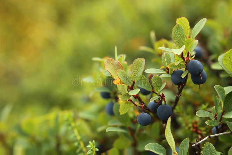 Vaccinium uliginosum, the bog bilberry, with berries royalty free stock images