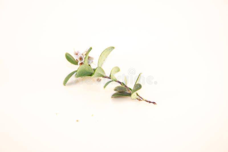 Vaccinium vitis-idaea, lingonberry flower stock photography