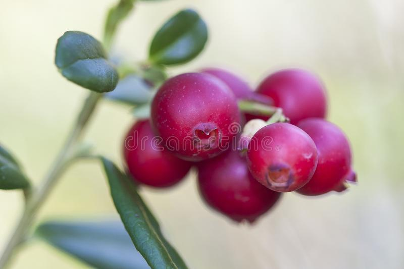 Vaccinium vitis-idaea lingonberry, partridgeberry, or cowberry is a short evergreen shrub in the heath family that. Bears edible fruit, native to boreal forest royalty free stock images