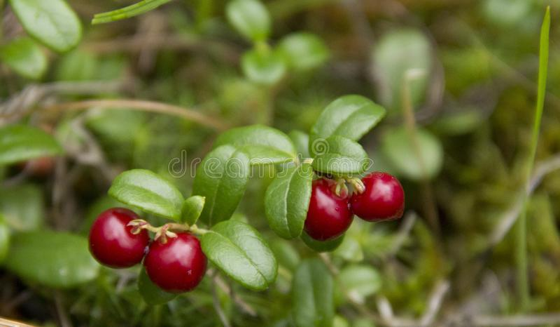 Vaccinium vitis-idaeastruik stock afbeeldingen