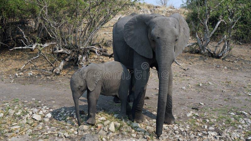 Vache à éléphant, éléphant de bébé se cachant des touristes dans la savane africaine photo stock