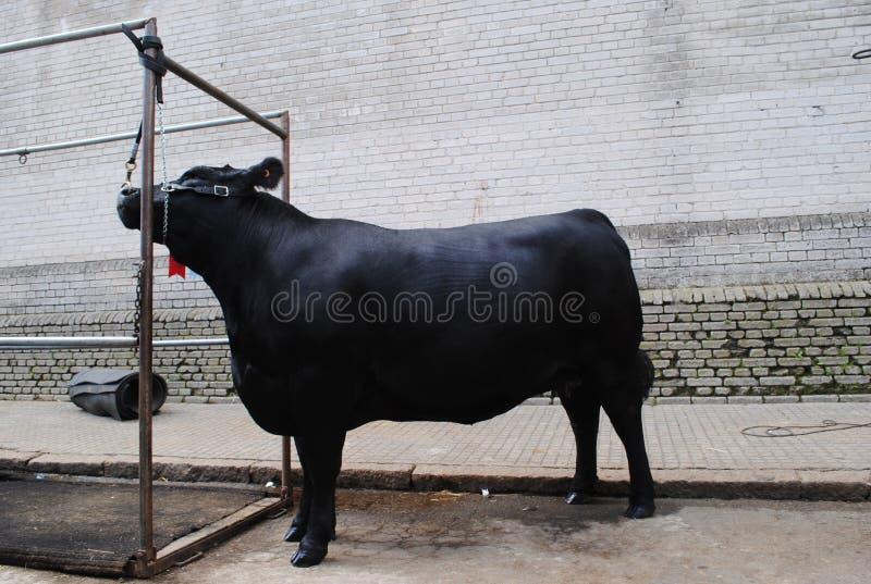 Vache à Angus de gagnant photo stock