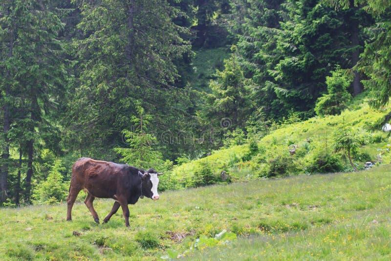 Vache à Brown devant le paysage de montagne images libres de droits