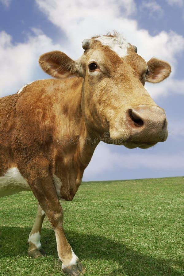 Vache à Brown marchant dans le domaine images libres de droits