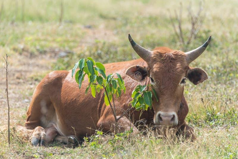 Vache à Brown se situant dans un domaine photo libre de droits