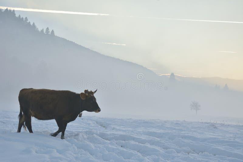 Vache à Brown sur le champ avec la neige photo libre de droits