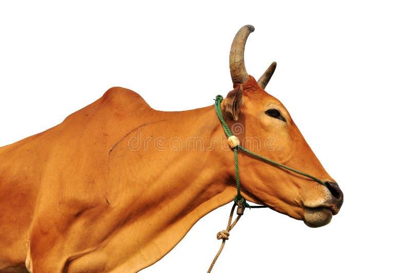 Vache à Brown sur un fond blanc photographie stock
