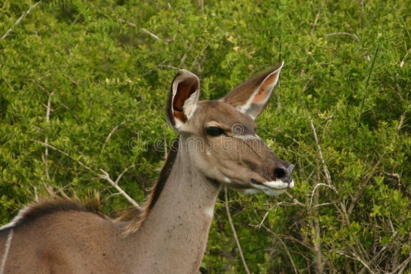 Vache à Kudu photographie stock libre de droits