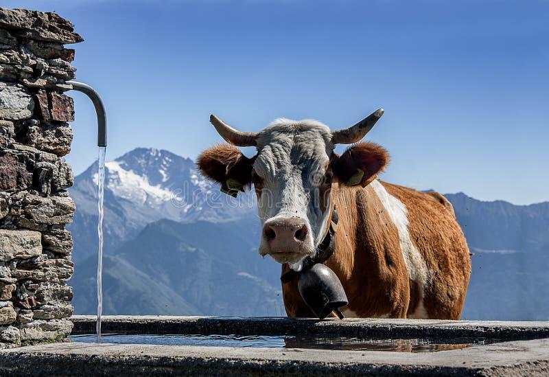 Vache à la fontaine photographie stock libre de droits