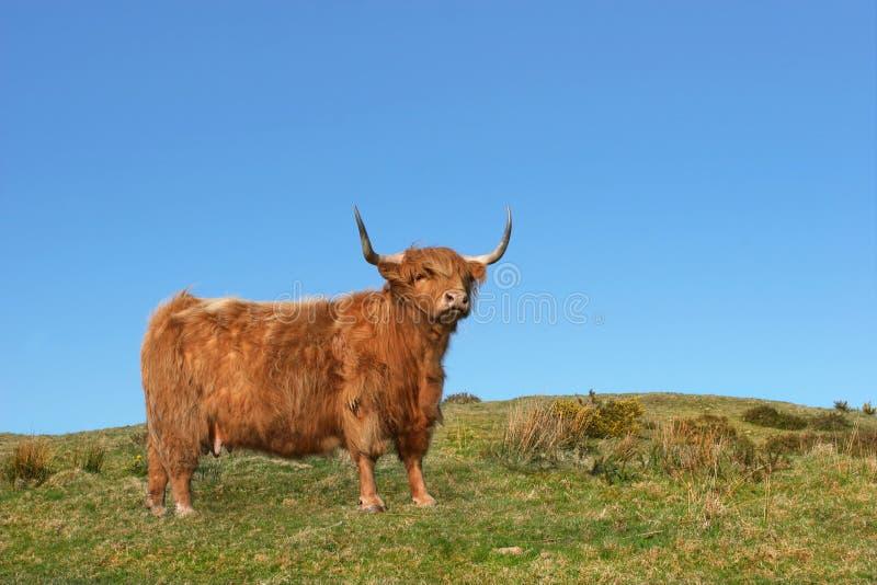 Vache à montagne de Dexter photographie stock