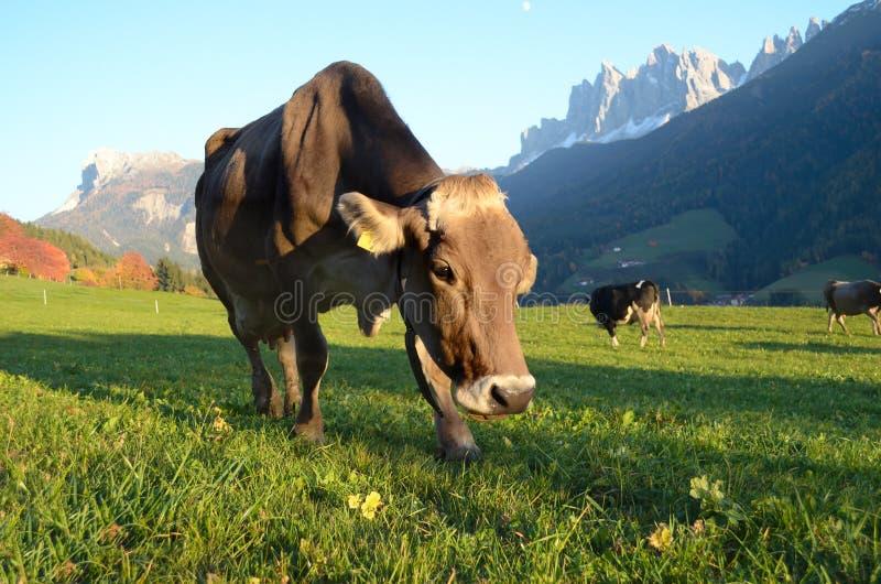 Vache à montagne de dolomites image stock