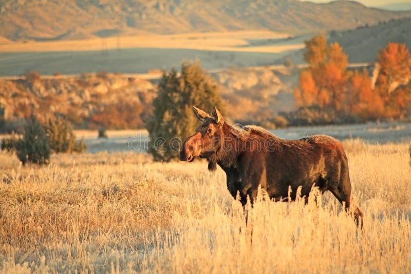 Vache à orignaux photographie stock libre de droits