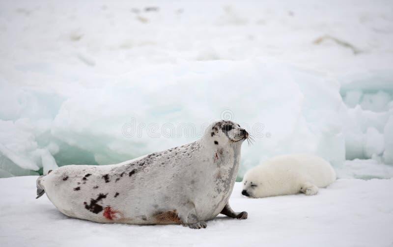 Vache à phoque de harpé et chiot nouveau-né sur la glace photographie stock libre de droits